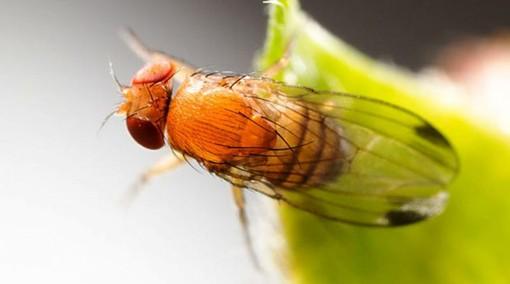 Lotta in Valle al moscerino asiatico che rovina la frutta