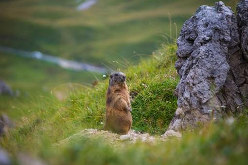 La marmotta, simbolo dell'iniziativa del Gran Paradiso Film Festival