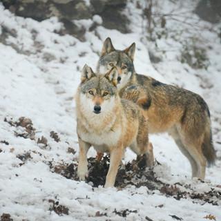 Verso nuova legge su gestione e tutela del lupo in Valle