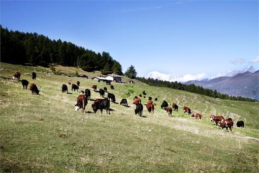 L'invecchiamento attivo e la pastorizia in Valle d'Aosta