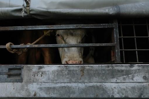 Gli attivisti di tutto il mondo chiedono un divieto globale delle esportazioni di animali vivi