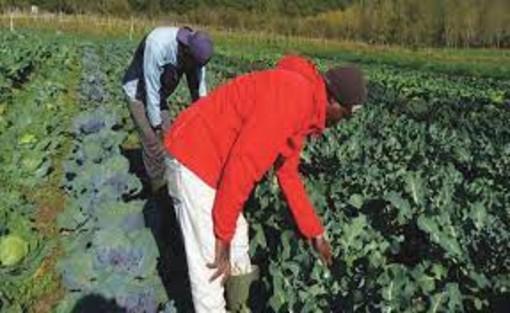 Aziende agricole in difficoltà per mancanza di braccianti dal Marocco