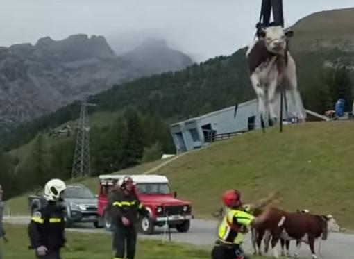 Il recupero di uno dei bovini salvatisi nella caduta