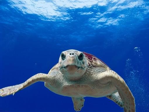 Tartaruga Carretta Carretta nuota per 35.000 chilometri