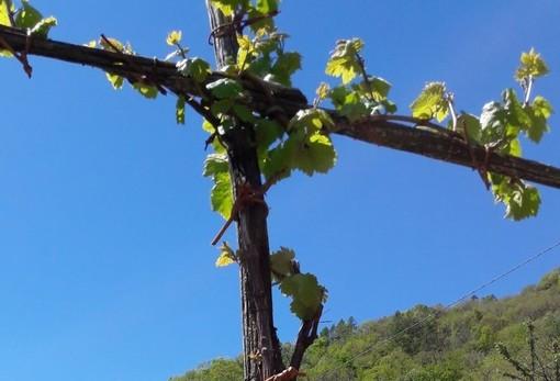 Dai racconti di viticoltura antica rinasce il 'Vino di Tilly'