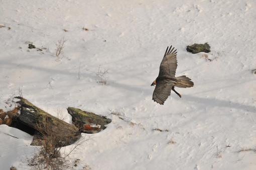 Istituita una zona a tutela della nidificazione del gipeto in Valnontey,