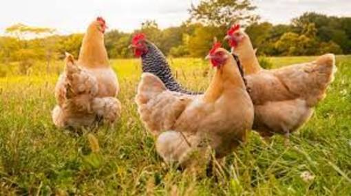 Il 60% delle galline italiane vivono libere
