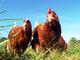 Sondaggio sul benessere dei polli: Italiani ingannati su come sono allevati