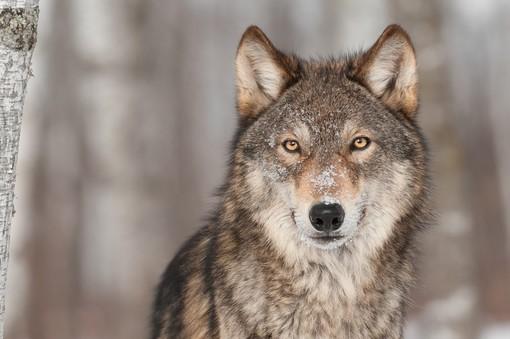 La politique débat sur la gestion du loup en Vallée d'Aoste