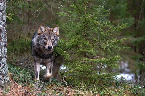 Come sono stati utilizzati i fondi ue contrasto al lupo?
