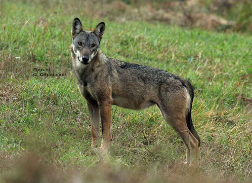 Autorizzato abbattimento lupi in Valle 'solo se non si sono altre soluzioni'