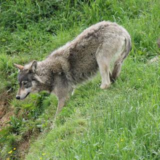 Per Adu disegno legge sul lupo è inutile