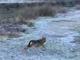 Avvistato un lupo sul lungo Dora di Aymavilles (VIDEO)