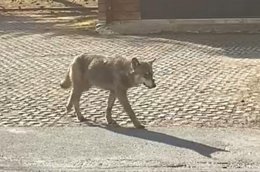 Un lupo a passeggio lungo strade di Rhèmes -VIDEO