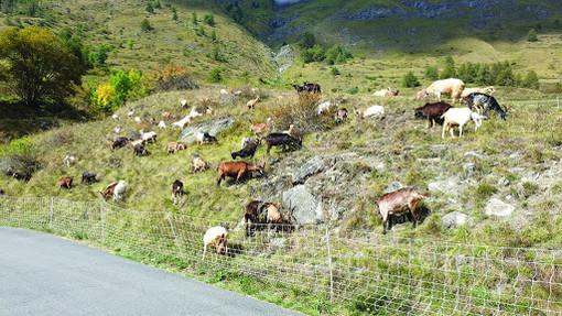 Lupo in Piemonte, il wwf contesta le dichiarazioni del presidente delle aree protette delle Alpi Cozie