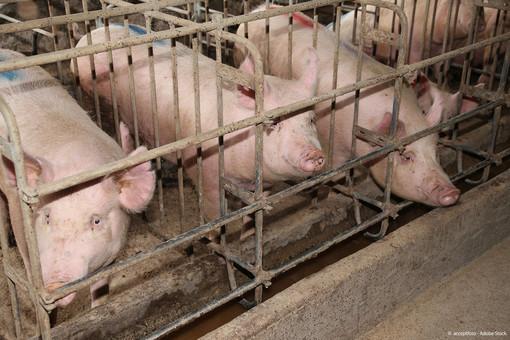 Il PE vuole porre gradualmente fine alle gabbie negli allevamenti per migliorare il benessere degli animali © Acceptfoto/Adobe Stock
