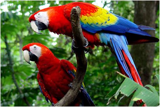 Papagalli peruviani