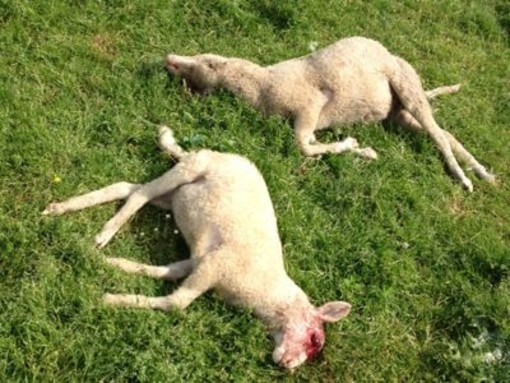 Imminente liquidazione indennizzi danni predatori al bestiame