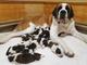 Il Natale regala dieci cuccioli di San Bernardo a Martigny