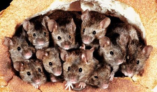 Domani Topa Day 2021, In Italia vivono 240 milioni di ratti e topi