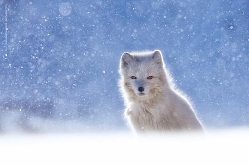 La foto 'Volpe artica nella tormenta di neve' di Samuele Parentella vince il 15esimo concorso  Fondation Grand Paradis